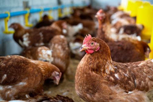 Why livestock animals, especially pig farming, need feed additives? | Feed Additives