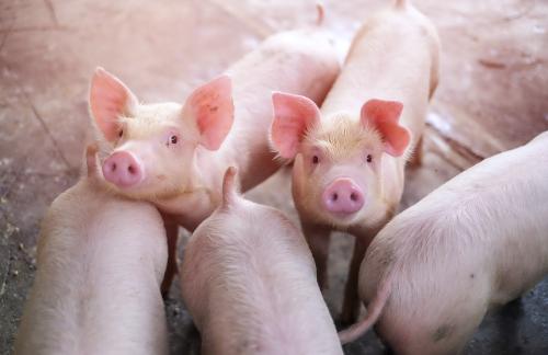 為什麼養豬業需要使用飼料添加劑? | 飼料添加劑